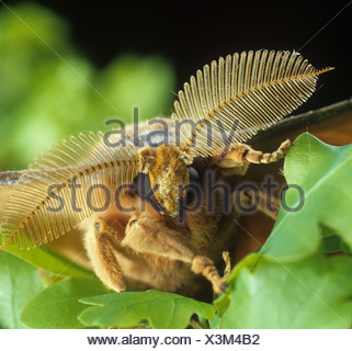 Chinese oak silkworm or tussar moth Antheraea pernyi head of a male moth showing large antennae - Stock Photo