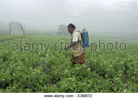 Worker spraying pesticides on vegetable crops in terraced field, Kodaikanal, Tamil Nadu, India - Stock Photo