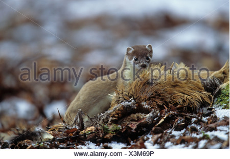 Stoat (Mustela erminea) adult, feeding on Common Pheasant (Phasianus colchicus) in snow, Borders, Scotland, winter - Stock Photo