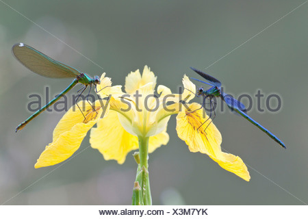Banded Demoiselles (Calopteryx splendens), male and female on an iris - Stock Photo