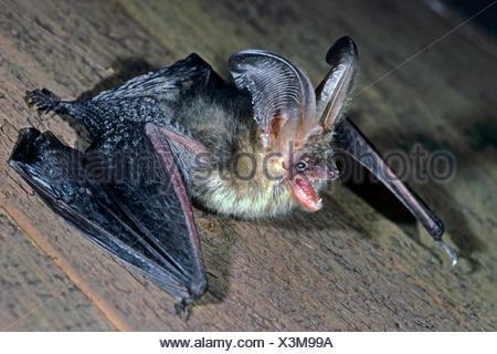 Braunes Langohr, Braune Langohrfledermaus, Grossohr (Plecotus auritus), drohend, Seitenansicht, Deutschland | brown long-eared b - Stock Photo