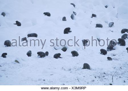 Snow monkeys Jigokudani National Park Japan - Stock Photo