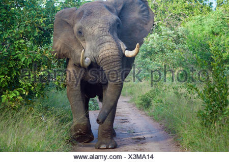 Elephant bull standing on road, Limpopo, South Africa - Stock Photo