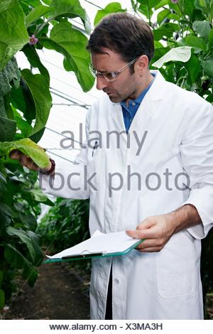 Germany, Bavaria, Munich, Scientist in greenhouse examining aubergine plants - Stock Photo