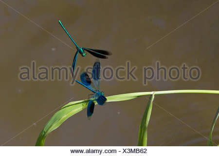 banded blackwings, banded agrion, banded demoiselle (Calopteryx splendens, Agrion splendens), fighting males, Germany, Bavaria - Stock Photo