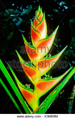 Heliconia Wagneriana Heliconiaceae Costa Rica Central America plant plants flower flowers flowering - Stock Photo