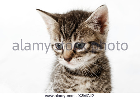 Portrait of a kitten, 5 weeks old - Stock Photo