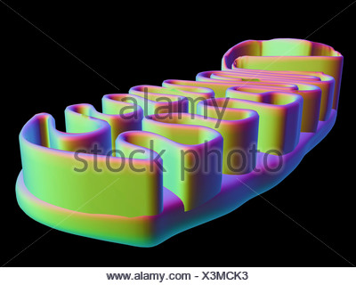 Mitochondrial structure, artwork - Stock Photo