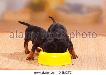 Dobermann Pinscher puppies, 5 weeks, feeding from bowl. - Stock Photo