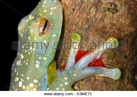 Red-webbed Treefrog, Canal Zone Treefrog (Hypsiboas rufitelus, Hyla rufitelus, Boana rufitela, Hyla albomarginata), at a tree trunk, Costa Rica