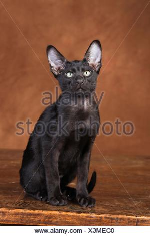 Oriental Shorthair - Stock Photo