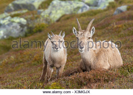 Alpine Ibex Capra ibex Female young slope Switzerland - Stock Photo
