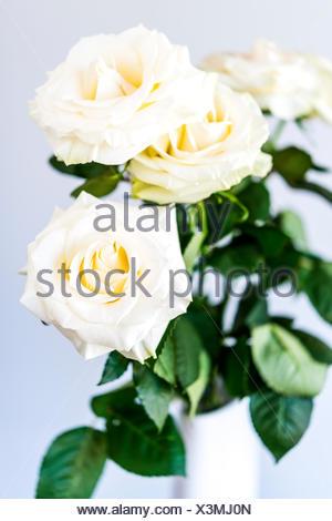 white roses - Stock Photo