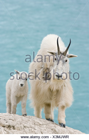 Mountain goat (Oreamnos americanus) nanny and kid overlooking Athabasca River Jasper National Park Alberta Canada.The nanny is s - Stock Photo