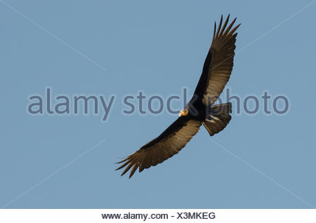 A lesser yellow-headed vulture, Cathartes burrovianus, in flight. - Stock Photo
