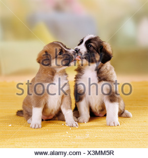 two half breed dog puppies  24 days  licking mutual their mouth - Stock Photo