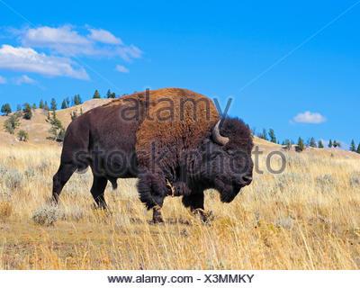 American bison, buffalo (Bison bison), male buffalo, USA, Wyoming, Yellowstone National Park, Lamar Valley - Stock Photo