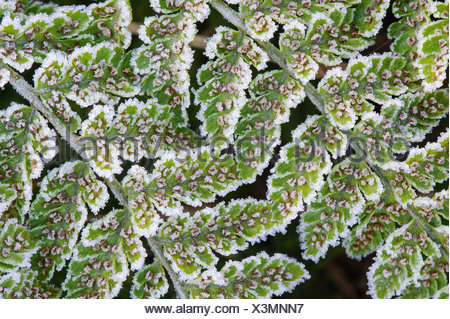 fern with hoarfrost, Germany - Stock Photo