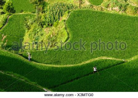 Kinsman of the Miao Minority working in the rice terraces of Xijiang, Guizhou, Southern China - Stock Photo
