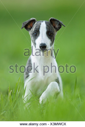 Whippet dog - puppy sitting on meadow - Stock Photo