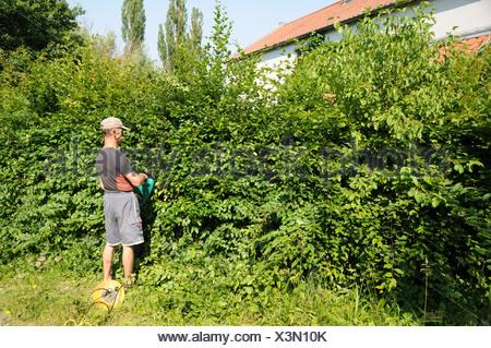 Hornbeam-Hedge shaping - Stock Photo