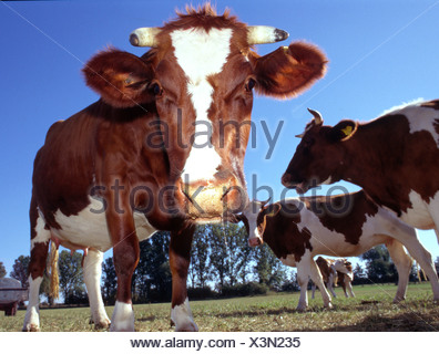 Kuehe auf der Weide cows on the willow Rotbunte - Stock Photo