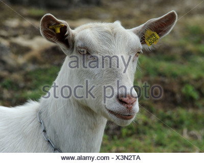 A white goat called a British Saanen with a clean white face. - Stock Photo