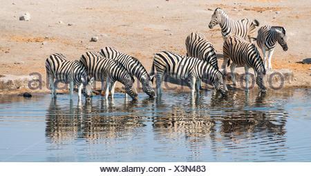 Herd of Burchell's Zebras (Equus burchellii) drinking, Chudop water hole, Etosha National Park, Namibia - Stock Photo