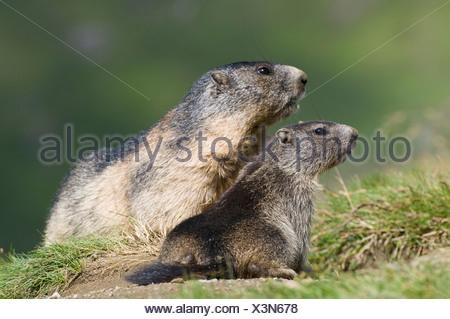 marmots - Stock Photo