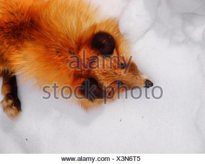 red fox fur pelt - Stock Photo