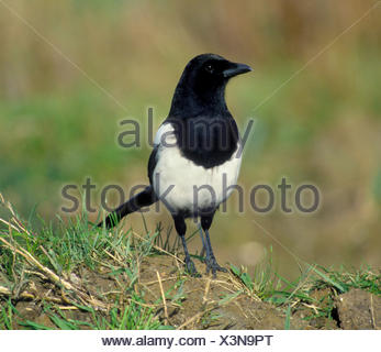 Magpie Pica pica L 45-50cm. Unmistakable black and white, long-tailed bird. Seen in small groups outside breeding season. Varied - Stock Photo