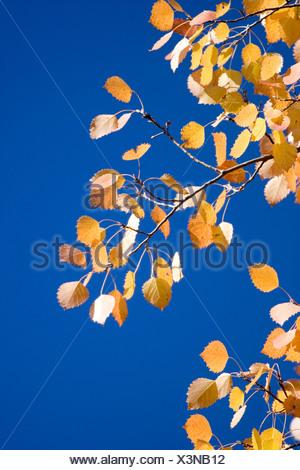 European aspen (Populus tremula), aspen twig in front of blue sky - Stock Photo