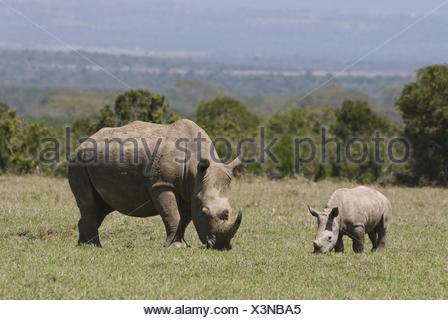 white rhinoceroses - Stock Photo