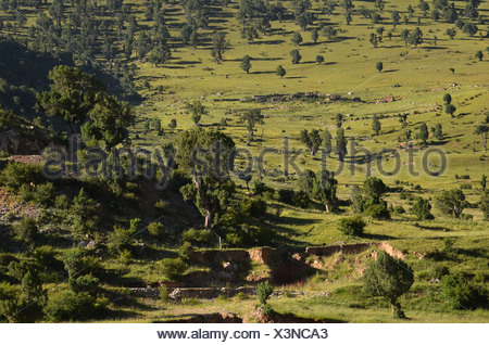 Centuries-old juniper trees in the mountains of Reting Monastery, Mount Gangi Rarwa, Himalayas, Lhundrup district, central Tibet - Stock Photo