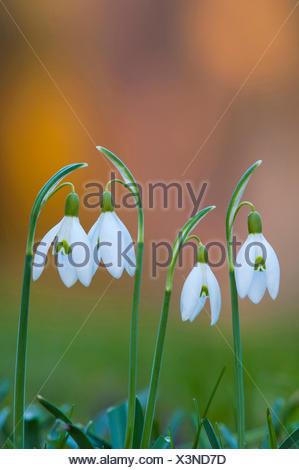 common snowdrop (Galanthus nivalis), flowers, Germany - Stock Photo