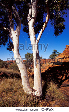 The white tree trunks of Ghost Gum Eucalypts against red sandstone. - Stock Photo
