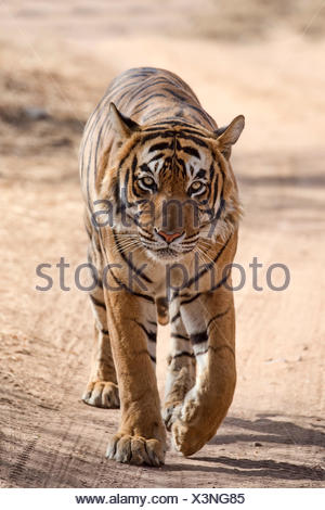 Bengal Tiger, royal Bengal tiger (Panthera tigris tigris), running on road, Ranthambore National Park, Rajasthan, India - Stock Photo
