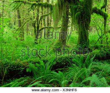 Moss covered trunks of Sitka spruce {Picea sitchensis} and Big leaf maple {Acer macrophyllum}, also Sword ferns {Polystichum munitum} Hoh temperate rainforest, Olympic NP, Washington, USA - Stock Photo