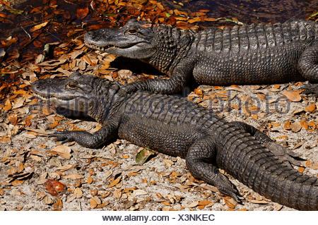 American Alligator, Alligator Mississippiensis, Florida Everglades, USA. - Stock Photo
