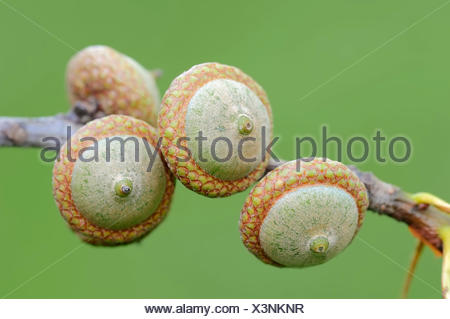 Northern Red Oak (Quercus rubra), acorns, North Rhine-Westphalia, Germany - Stock Photo