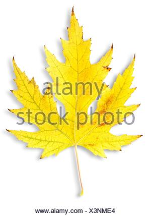 Autumn maple leaf isolated on a white background. - Stock Photo
