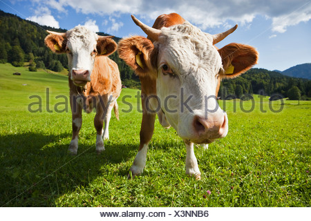 Germany, Bavaria, Two cows standing in field, close-up - Stock Photo