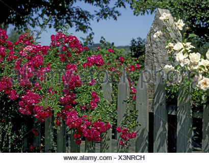 Fence Flower Bed Detail Rose Blooms Garden Fence Wood Fence Bretterzaun  Slat Fence
