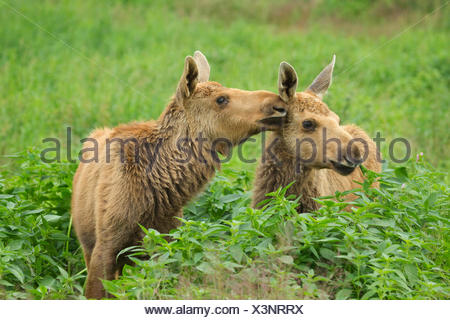 elk, European moose (Alces alces alces), two juveniles sitting at a forest edge caressing each other, Sweden - Stock Photo