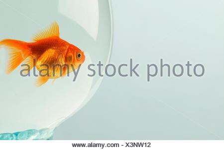 Goldfish (Carassius auratus) in fishbowl - Stock Photo