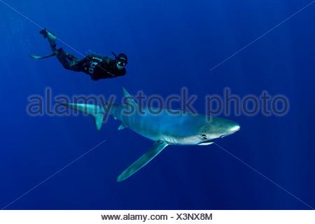Blue Shark and Scuba Diver, Prionace glauca, Pico Island, Azores, Portugal - Stock Photo