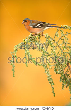 Chaffinch (Fringilla coelebs) male feeding on branch, Alicante, Spain - Stock Photo