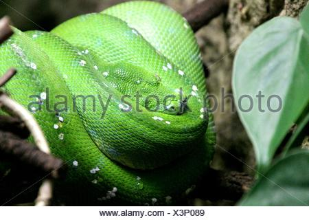 Close-Up Of Green Snake On Branch - Stock Photo