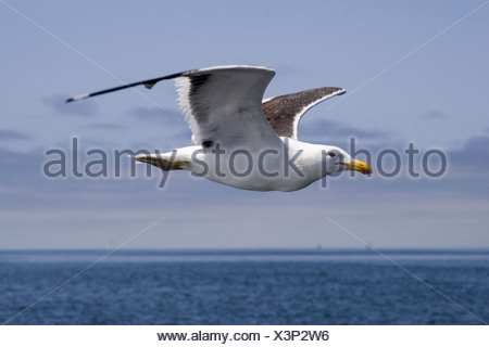 southern black-backed gull (Larus dominicanus), flying, Namibia, Walvis Bay - Stock Photo