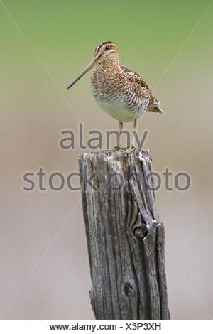 Wilson's Snipe (Gallinago delicata) perched on a fence post in British Columbia, Canada. - Stock Photo